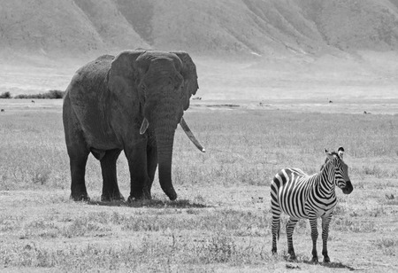bn: Imagen blanco y negro de un elefante africano, Loxodonta Africana, detr�s de una cebra com�n llano, Equus Quagga, en el �rea de Conservaci�n de Ngorongoro, Tanzania