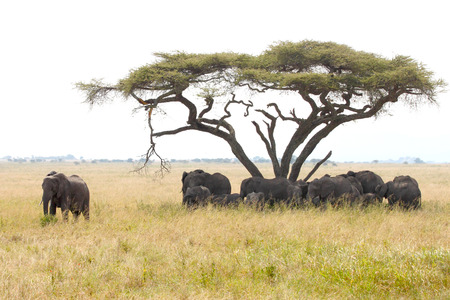 loxodonta africana: Herd of african elephants, Loxodonta Africana, at the shadow of an acacia tree with the bull guarding and protecting the group in Serengeti National Park, Tanzania