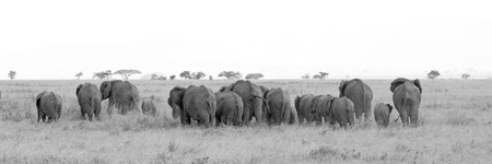 bn: Black and white image of large herd of african elephants, Loxodonta Africana, going away in the savannah in Serengeti National Park, Tanzania
