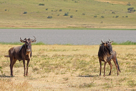 taurinus: Two blue wildebeests, Connochaetes taurinus, standing near a small lake in Ngorongoro Conservation Area, Tanzania