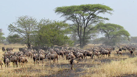 tanzania antelope: Herd of blue wildebeests, Connochaetes taurinus, moving during the Great Migration between Serengeti National Park, Tanzania, and Maasai Mara National Reserve, Kenya.