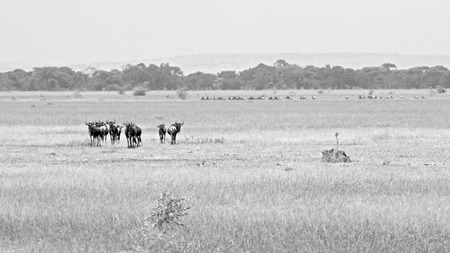 tanzania antelope: A small herd of blue wildebeests, Connochaetes taurinus, grazing in Serengeti National Park, Tanzania. Black and white image.