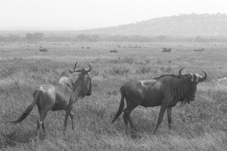 taurinus: Two blue wildebeests, Connochaetes taurinus, walking in the savannah in Ngorongoro Conservation Area, Tanzania. Black and white image.