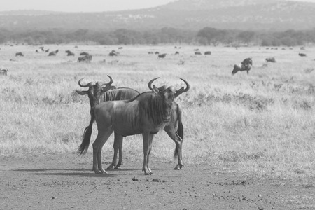 tanzania antelope: Two blue wildebeests, Connochaetes taurinus, standing in the savannah near the herd, Ngorongoro Conservation Area, Tanzania. Black and white image.