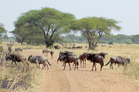 taurinus: Group of blue wildebeests, Connochaetes taurinus, crossing a road in Serengeti National Park, Tanzania