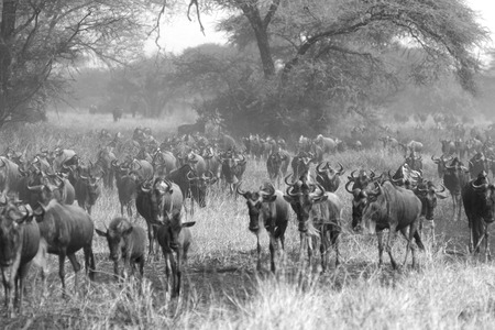 african wildebeest: Herd of blue wildebeests, Connochaetes taurinus, moving during the Great Migration in Serengeti National Park, Tanzania. Black and white image.