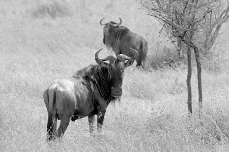 bn: Two blue wildebeests, Connochaetes taurinus, standing in the savannah near the herd, Serengeti National Park, Tanzania. Black and white image.