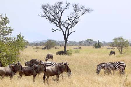 taurinus: Blue wildebeests, Connochaetes taurinus, and plain zebras (Equus quagga) grazing in the savannah in Serengeti National Park, Tanzania