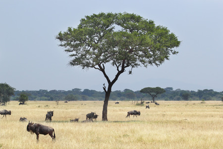 taurinus: A small group of blue wildebeests, Connochaetes taurinus, moving grazing around an acacia tree in Serengeti National Park, Tanzania Stock Photo