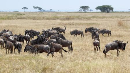 taurinus: Herd of blue wildebeests, Connochaetes taurinus, grazing in the savannah in Serengeti National Park, Tanzania