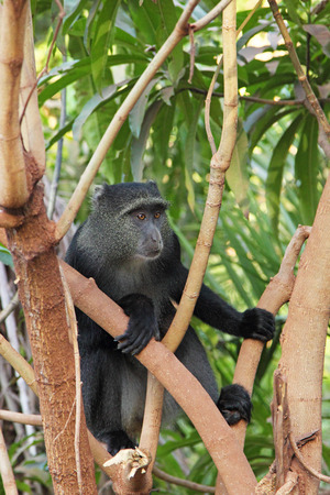 primate: A blue diademed monkey, Cercopithecus mitis, between the branches in Lake Manyara National Park, Tanzania. This primate is native to Central and East Africa. Stock Photo