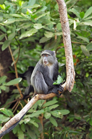 primate: A blue diademed monkey, Cercopithecus mitis, on a branch in Lake Manyara National Park, Tanzania. This primate is found in evergreen forests and montane bamboo forests
