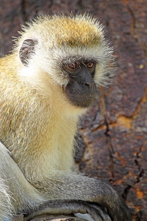inhabits: A vervet monkey, Chlorocebus pygerythrus, sitting on a tree. This monkey inhabits savanna, woodland and forest and they are able to persist in highly fragmented vegetation and cultivated areas.