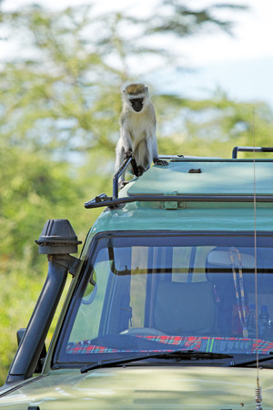the jeep: A vervet monkey, Chlorocebus pygerythrus, sitting on the canopy car of a jeep, at Serengeti National park, Tanzania Stock Photo
