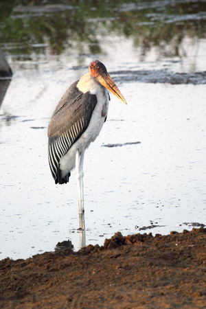 undertaker: A marabou stork, Leptoptilos crumenifer, in the shallow water of a lake in Serengeti National Park, Tanzania