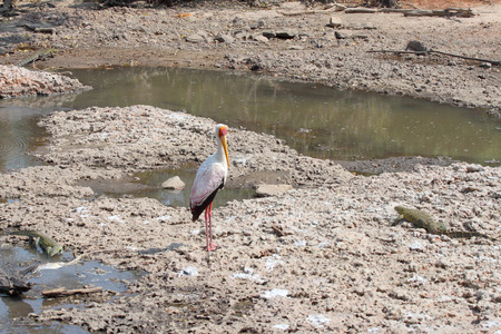 niloticus: A yellow-billed stork, Mycteria ibis, near a waterhole and surrounded by Nile monitors, Varanus niloticus, in Serengeti National Park, Tanzania Stock Photo