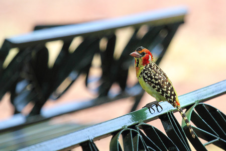 dining area: A colorful african bird known as red and yellow barbet, Trachyphonus erythrocephalus, perched on a park bench in a dining area in Serengeti National Park, Tanzania Stock Photo