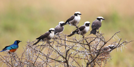 northern african: A group of african birds perched on a wattle, many northern white-crowned shrikes, Eurocephalus rueppelli, and a superb starling, Lamprotornis superbus, found in Serengeti National Park, Tanzania Stock Photo
