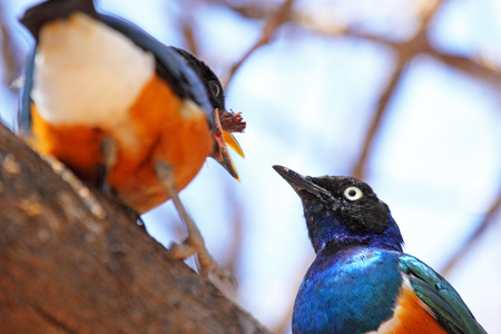 Two african bird known as superb starling, Lamprotornis superbus, feeding on a branch in Serengeti National Park, Tanzania photo