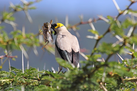 shurb: An african bird known as wattled starling, Creatophora cinerea, on an acacia tree with a grasshopper in the beak in Serengeti National Park, Tanzania Stock Photo