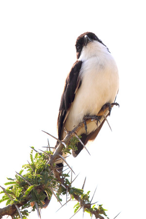 northern african: An african bird known as northern white-crowned shrikes, Eurocephalus rueppelli, perched on a wattle in Serengeti National Park, Tanzania