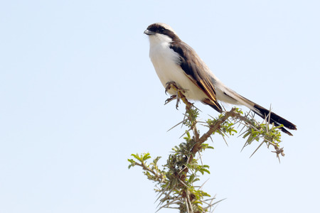 northern african: An african bird known as northern white-crowned shrikes, Eurocephalus rueppelli, perched on an acacia twig in Serengeti National Park, Tanzania Stock Photo