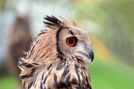 looking behind: Portrait of an indian eagle-owl, Bubo bengalensis, looking behind