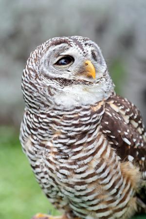 looking behind: A barred owl, Strix varia, is looking behind Stock Photo