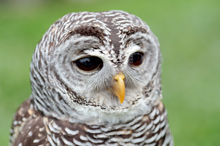 barred: Closeup of the face of a barred owl, Strix varia, with the beak closed