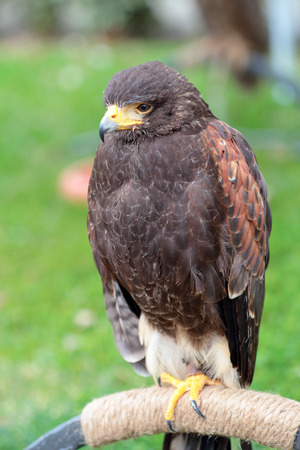 roost: Harris hawk, Parabuteo unicinctus, perched on an artificial roost