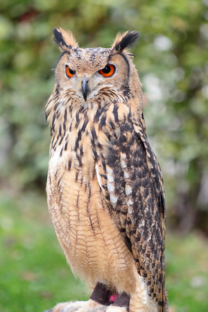 bengalensis: Indian eagle-owl, also called the rock eagle-owl or Bengal eagle-owl, Bubo bengalensis,