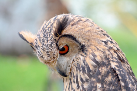 bengalensis: Portrait of a rock eagle-owl, Bubo bengalensis, looking at bottom