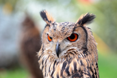 looking ahead: Portrait of an indian eagle-owl, Bubo bengalensis, looking ahead