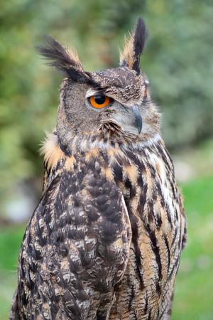 looking ahead: Portrait of an eurasian eagle-owl, Bubo bubo, looking ahead Stock Photo