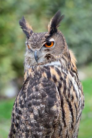 looking behind: Portrait of an eurasian eagle-owl, Bubo bubo, looking behind Stock Photo