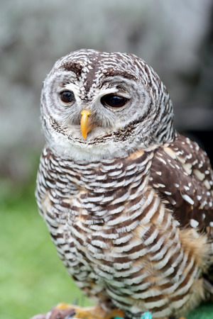 barred: A barred owl, Strix varia, is looking ahead Stock Photo