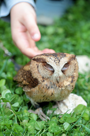 softly: Hand of a child softly caressing a small sunda scops owl, Otus lempiji, on a stone in the grass