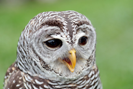 barred: Closeup of the face of a barred owl, Strix varia, with the beak open Stock Photo