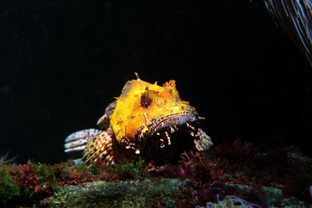 scorpionfish: A venomous yellow scorpionfish lying on the bottom of the sea waiting for prey