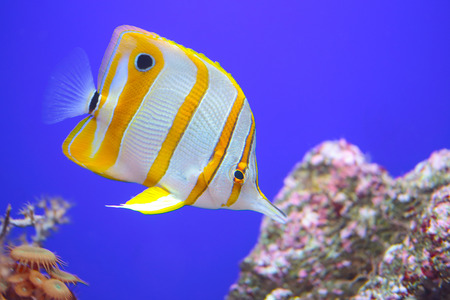 A colorful tropical copperband butterflyfish, Chelmon rostratus), commonly known as beaked coral fish on an uniform blue background