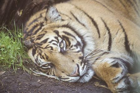 panthera tigris: A tiger, Panthera tigris, is resting at the ground. Horizontal image