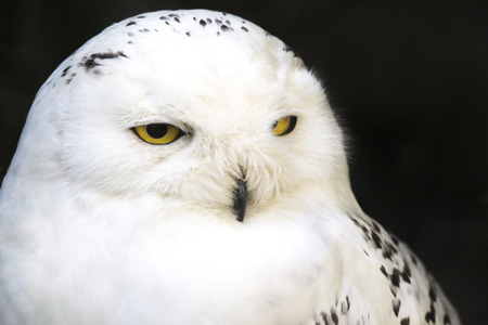 snowy owl: Portrait of a snowy owl, Bubo scandiacus, looking laterally left Stock Photo