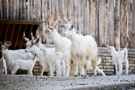 hircus: Herd of domestic goats, Capra aegagrus hircus, breed Girgentana with kids. This breed from the Sicily is now in danger of disappearance Stock Photo