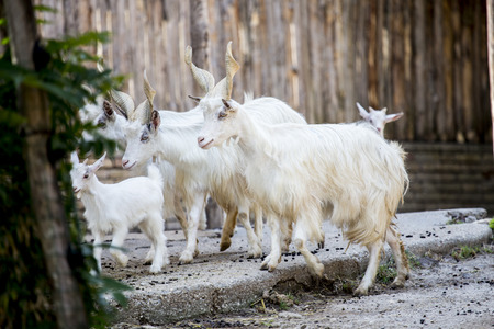 hircus: Herd of domestic goats, Capra aegagrus hircus, breed Girgentana walking in a fence. This goat is indigenous to the province of Agrigento, in the southern part of the Mediterranean island of Sicily Stock Photo