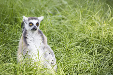sitting on the ground: A ring-tailed lemur, Lemur catta, sitting at the ground between the grass Stock Photo