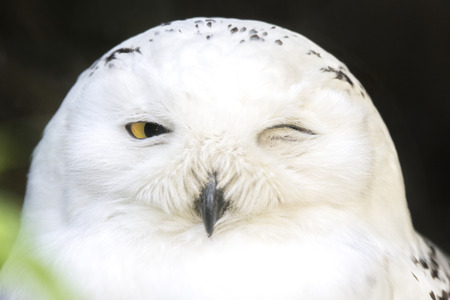 snowy owl: Portrait of a snowy owl, Bubo scandiacus, winking with on eye closed Stock Photo