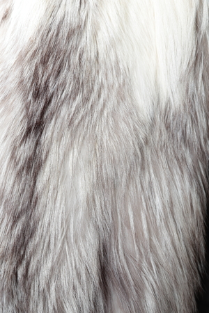 silver fox: Silver fox coat used as fur texture or natural background