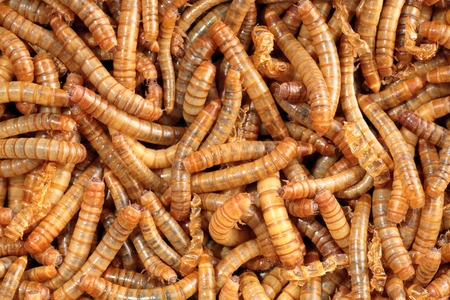 worm infestation: Scatter of living mealworms, this closeup image can be also used as background. This larvae is used as food for feeding birds, reptiles or fish. The image can be used as abstract background Stock Photo