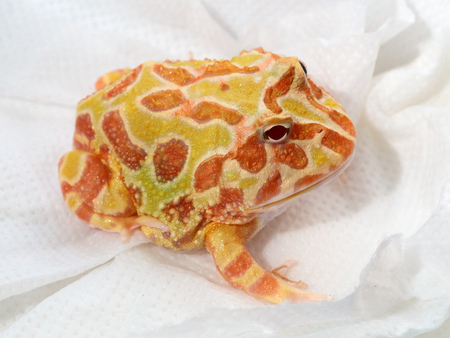 big eye: Captive specimen of ornate horned frog, Ceratophrys ornata, also known as pacman frog Stock Photo