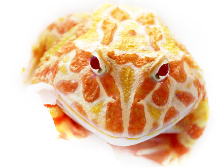 pacman: Ornate horned frog also known as pacman frog, Ceratophrys ornata. Image taken on a bright white background